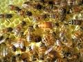 Buckfastbienen